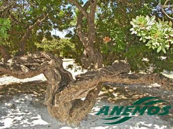 δέντρο μαστίχας